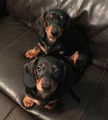 Dachshund Puppy For Sale in LYNCHBURG, VA, USA