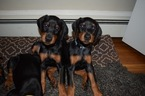 Doberman Pinscher Puppy For Sale in MARSHFIELD, MA, USA