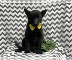 Pomsky Puppy for sale in CEDAR LANE, PA, USA