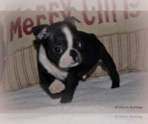 Boston Terrier Puppy for Sale in ROYSE CITY, Texas USA