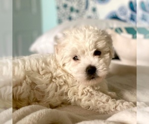 Shih-Poo-Zuchon Mix Puppy for Sale in GALENA, Nevada USA