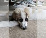 Small #3 Anatolian Shepherd-Maremma Sheepdog Mix