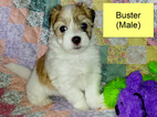 Havanese Puppy For Sale in CRYSTAL RIVER, FL,