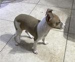 Small #5 Italian Greyhound