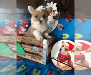 Pembroke Welsh Corgi Puppy for Sale in HARRAH, Oklahoma USA