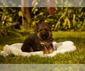 German Shepherd Dog Puppy for sale in FORT MYERS, FL, USA