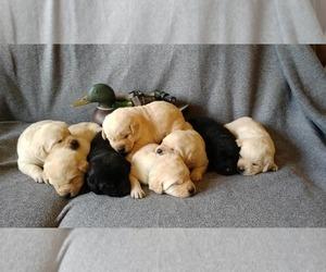 Labrador Retriever Puppy for sale in OXFORD, NC, USA