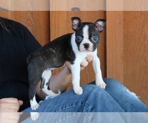 Boston Terrier Puppy for sale in MEDINA, TN, USA