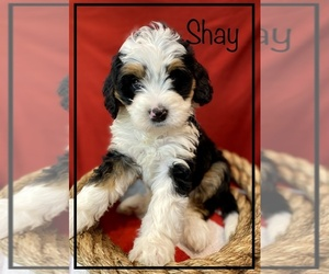 Miniature Bernedoodle Puppy for Sale in STONE CREEK, Ohio USA