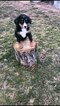 Small Bernese Mountain Dog