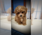 Maltipoo-Morkie Mix Puppy For Sale in BROWN DEER, WI, USA