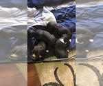 Boxer Puppy For Sale in CRANE HILL, AL, USA
