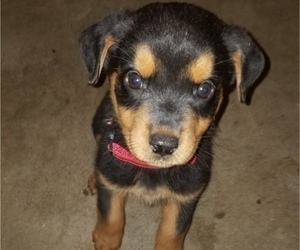 Rottweiler Puppy for Sale in BEL AIRE, Kansas USA