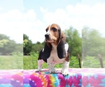 Small Photo #10 Basset Hound Puppy For Sale in UNION CITY, TN, USA