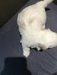 Small #7 Coton de Tulear