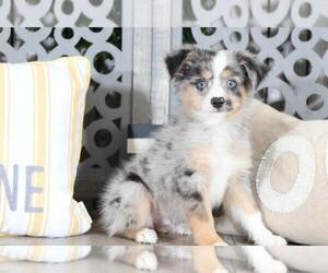 Australian Shepherd Puppy for sale in MOUNT VERNON, OH, USA