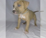 Puppy 11 American Pit Bull Terrier-American Staffordshire Terrier Mix