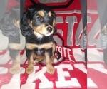 Puppy 0 Australian Shepherd-Cavalier King Charles Spaniel Mix