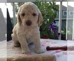 Puppy 2 Golden Retriever-Goldendoodle Mix