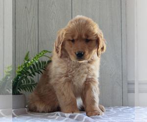 Golden Retriever Puppy for sale in GORDONVILLE, PA, USA