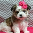 Morkie Puppy For Sale in NAVARRE, OH,