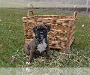 Boxer Puppy for sale in GOSHEN, IN, USA
