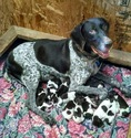 German Shorthaired Pointer Puppy For Sale in ENID, OK,