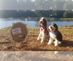 Bernedoodle Puppy For Sale in MIDLOTHIAN, VA, USA