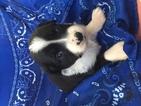 Miniature Australian Shepherd Puppy For Sale in ARCHER, FL, USA
