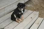 Australian Shepherd Puppy For Sale in ALBION, IN