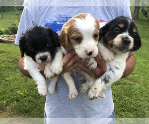 Brittany Puppy for sale in BLOUNTVILLE, TN, USA