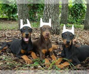 Doberman Pinscher Puppy for sale in BROOKSVILLE, FL, USA