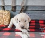 Puppy 7 English Cream Golden Retriever-Poodle (Standard) Mix