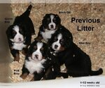 AKC Bernese Mountain Dog puppies