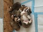 Pembroke Welsh Corgi Puppy For Sale in ONALASKA, WA
