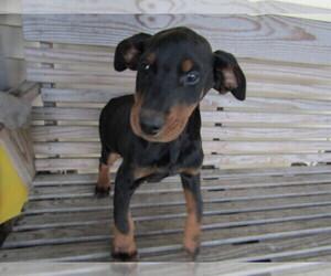 Doberman Pinscher Puppy for sale in KALAMAZOO, MI, USA