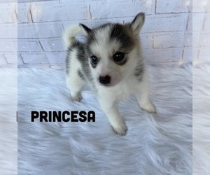 Pomsky Puppy for sale in CARROLLWOOD, FL, USA