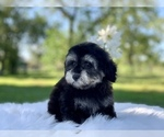 Small #12 Havanese-Poodle (Toy) Mix