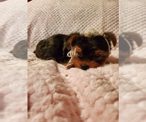 Yorkshire Terrier Puppy for sale in TALALA, OK, USA