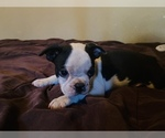 Puppy 1 Boston Terrier