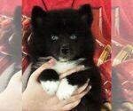 Small #1 Huskimo