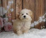 Puppy 13 Maltipoo