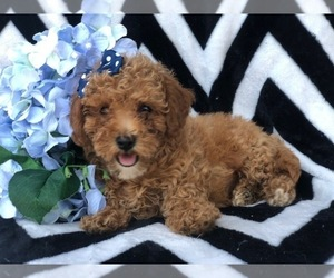 Double Doodle Puppies for Sale in USA, Page 1 (10 per page