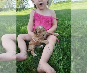 Goldendoodle-Poodle (Miniature) Mix Puppy for sale in DUNDEE, OH, USA