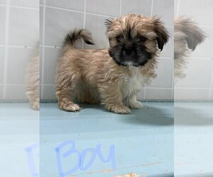 Shih Tzu Puppy for sale in CLARE, IL, USA