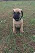 Bullmastiff Puppy For Sale in GREENVILLE, SC,