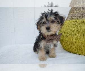 View Ad: Morkie Puppy for Sale near Pennsylvania, HONEY