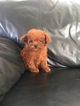Poodle (Miniature) Puppy For Sale in BEAVERTON, OR
