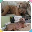 Cane Corso Puppy For Sale in CARPENTERSVILLE, IL