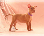 Puppy 1 Pharaoh Hound